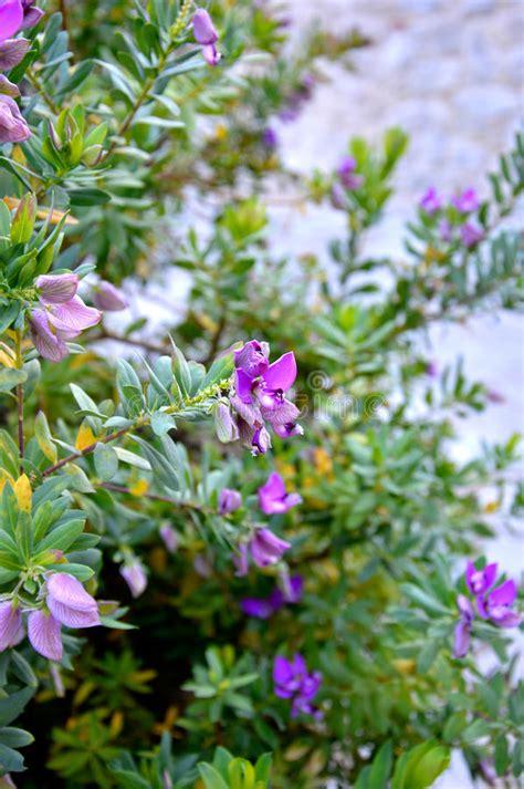 arbusto fiori viola cespuglio viola fiore fotografia stock immagine di