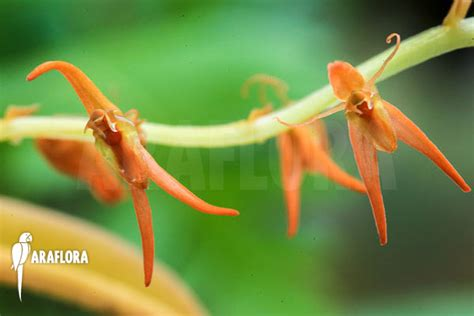 Panci Kalakat 40 Cm Orchid Limited 1 araflora flora more orchid liparis species indonesia