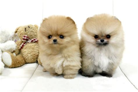 how big do teacup pomeranians get teacup pomeranian puppies sissy sammy dogs animals background wallpapers on
