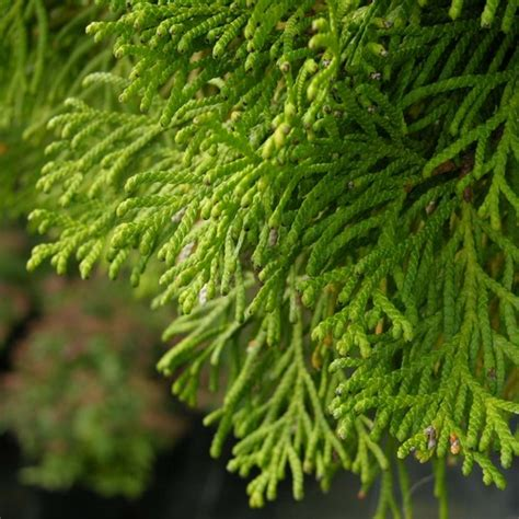 thuja occidentalis smaragd 994 coniferen tuinplantencentrum de pauw