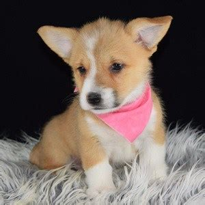 corgi puppies for sale pa pembroke corgi puppy for sale pecan puppies for sale in pa nj