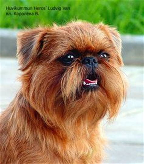 griffon pug cross for sale 1000 ideas about griffon bruxellois on brussels griffon puppies and