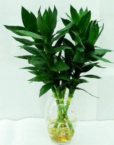 feng shui bamboo plant in bedroom feng shui bamboo plant in bedroom 28 images 3