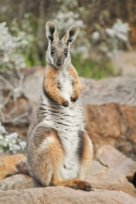 8 Animals From Australia Id To See by Yellow Footed Rock Wallaby Yellow Footed Rock Wallaby