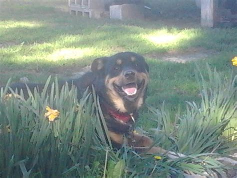 akita mix with rottweiler mr the akita rottweiler mix allmutt