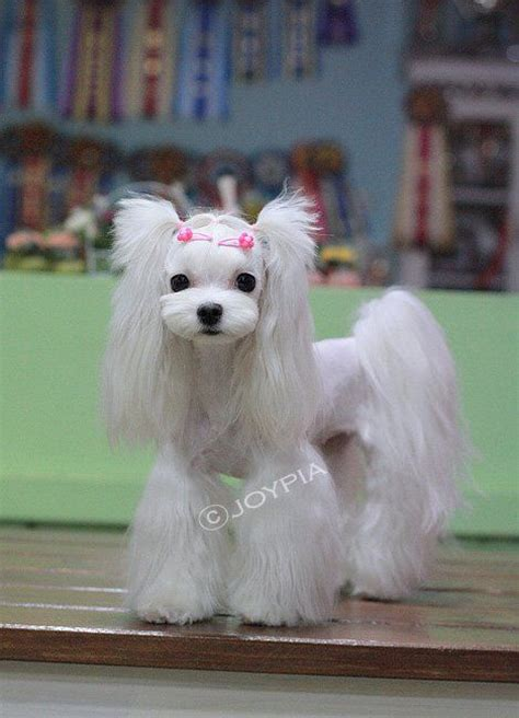 boy maltese haircuts 1000 images about shih tzu on pinterest maltese pets