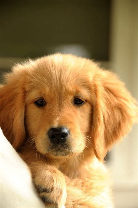pics golden retrievers pics for gt cutest golden retriever puppy in the world