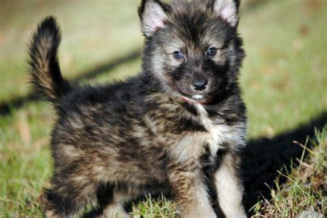 tamaskan puppies for adoption tamaskan club of america tamaskan puppies