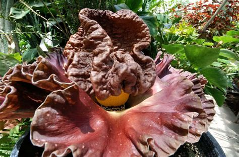 corpse flower 10 most strangest plants in the world the mysterious world