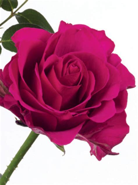 Orange Color Meaning rose magenta milano ubloom