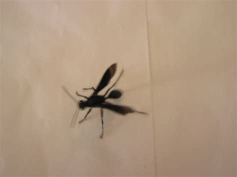 Small Flying Insects At Home We Are Finding Large Black Flying Insect About 1 To 1 1 2