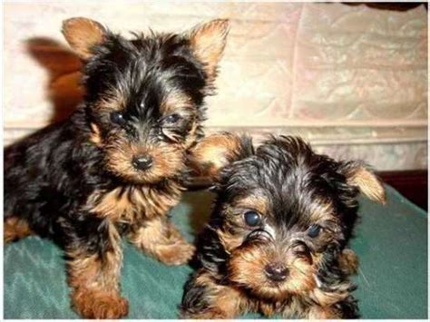 yorkie puppies for sale utah yorkie puppies for adoption for sale adoption from salt lake city utah adpost