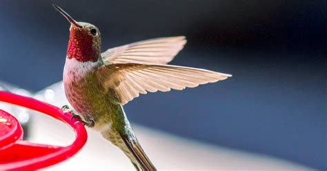 best 28 what do hummingbirds eat besides nectar
