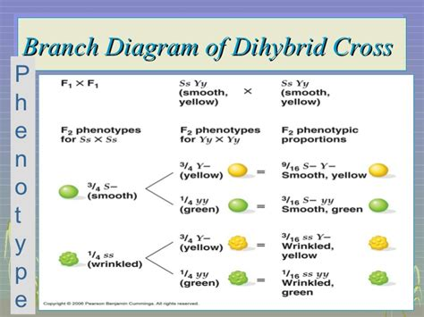 branch diagram genetics mendelian genetics