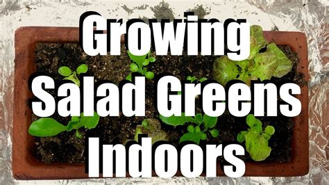 grow salad greens indoors  easy indoor grow