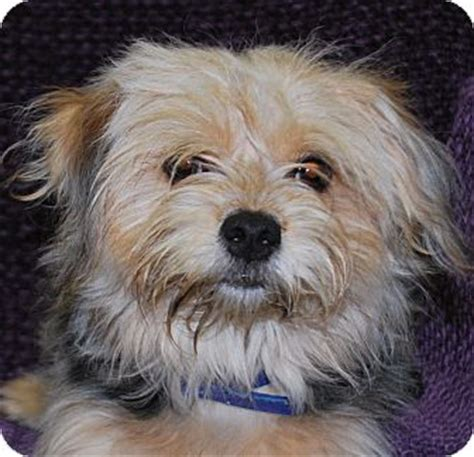 yorkies in ky ky yorkie terrier mix meet shaggy a puppy for adoption