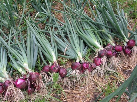 onion medicinal herb info onion a traditional indispensable non spice item found in