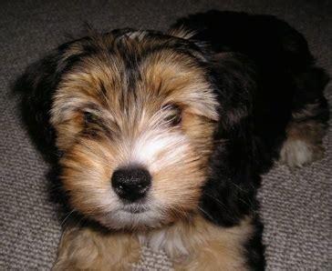 yorkie ton yorkie ton terrier x coton de tulear info puppies pictures