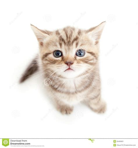 Top View Of Baby Scottish Kitten Stock Image