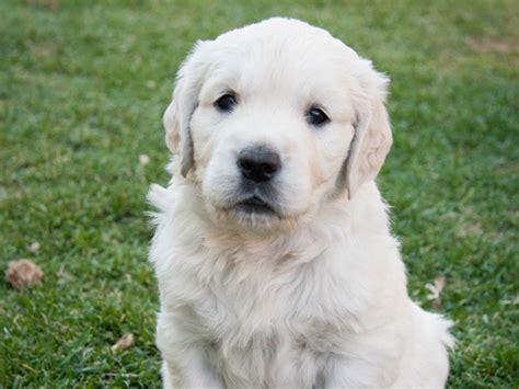 golden retriever puppies las vegas nv rogall breeders las vegas nv