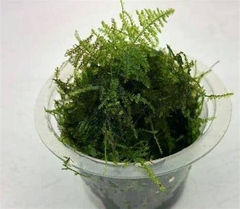 tanaman aquascape moss mini crismas bahan jual tanaman