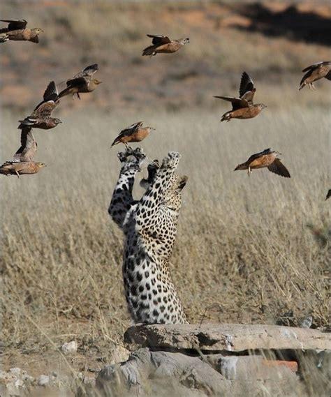 Leopard Bird south leopard catches sandgrouse