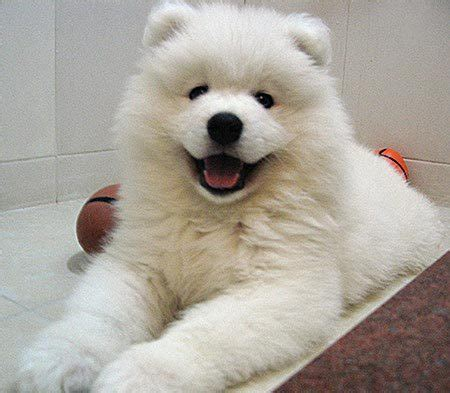 daily puppy tin tin the samoyed puppies daily puppy
