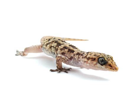 mediterranean house gecko mediterranean house gecko by ribbonworm on deviantart
