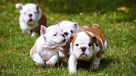 bulldog puppies indiana bulldog puppies hd wallpapers