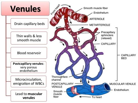 Ct Basement by Biol 121 Chp 21 The Cardiovascular System Blood Vessels