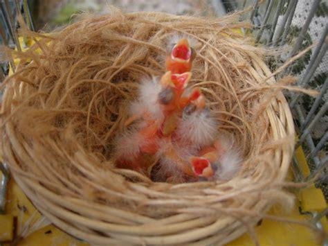 accoppiamento cardellini in gabbia canarini accoppiamento e pets