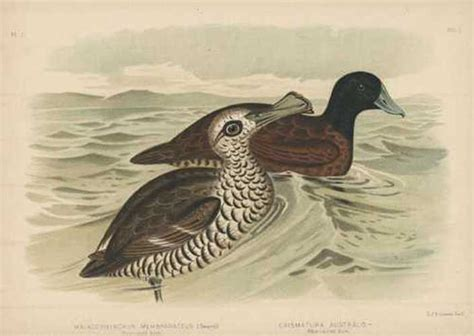 Bantal Menyusui Duck Biru Duck Pink antique print club broinowski bird lithograph australian pink eyed duck blue billed duck c1890
