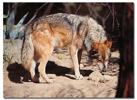 Bicycle And Square Wolvis mexican gray wolf canis lupus baileyi desertusa
