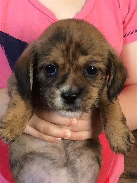 shih tzu and dachshund mix puppies for sale miniature dachshund x shih tzu pup west drayton middlesex pets4homes