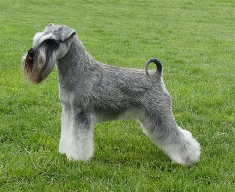 Miniature by Miniature Schnauzer Pictures Wallpapers9