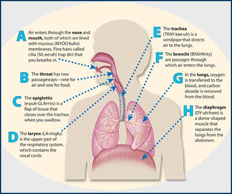 diagram and functions human respiratory system diagram and functions human
