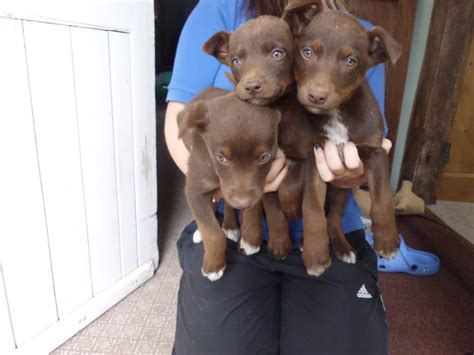 australian kelpie puppies for sale australian kelpie puppies for sale in the uk australian kelpie breeds picture
