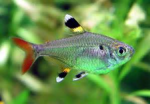 Pristella Maxillaris   Tropical Fish Keeping
