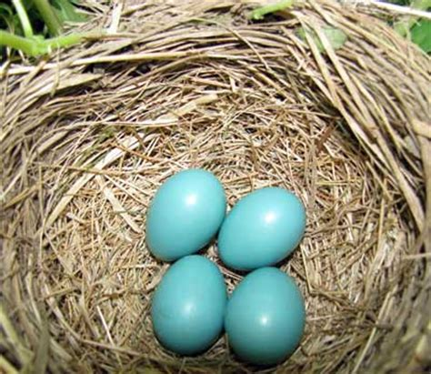 birds that lay blue eggs not all blue eggs are bluebird eggs