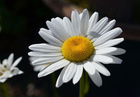 margherita fiore descrizione immagini fiorire bianco e nero petalo
