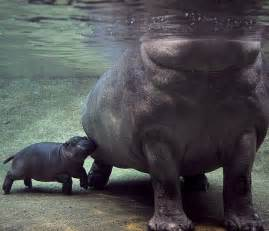 admin pictures 4 baby hippos cute hippos