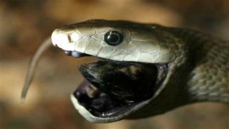 imágenes de serpientes negras las serpientes mas venenosas del mundo la mamba negra