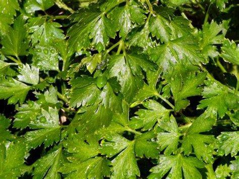 seeds parsley flat leaf italian 60 parsley seeds was