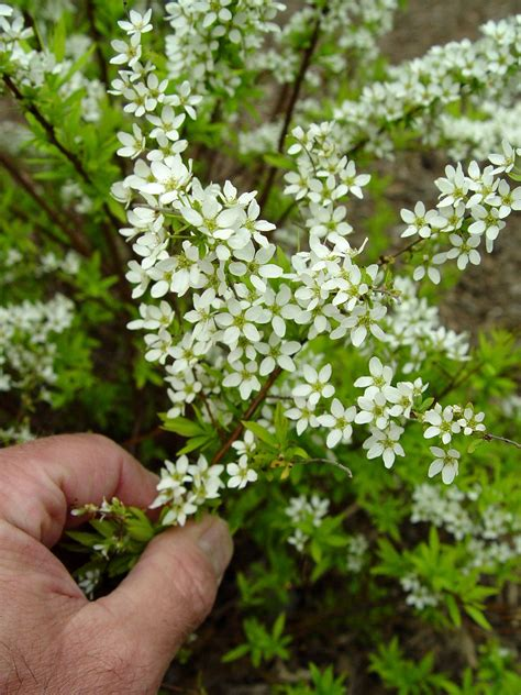 shrub with small white flowers in spirea ogon mellow yellow garden housecalls