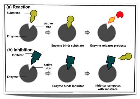 enzyme inhibitors in food enzyme inhibitors in food newhairstylesformen2014 com