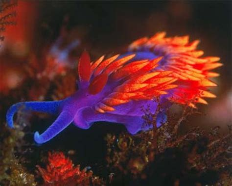the jungle store: the nudibranch a colorful ocean creature
