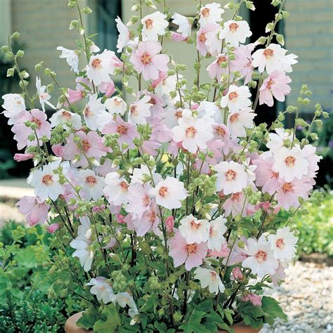De Jardin 3196 by Lavatera X Clementii Barnsley Baby Mallow Flores