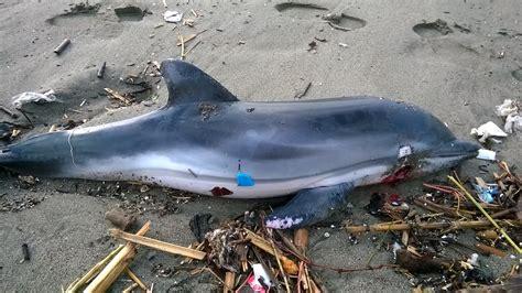 porto vecchio salerno salerno la capitaneria di porto recupera delfino morto