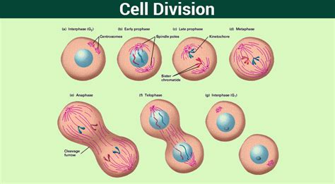 diagram with division diagrams of mitosis diagrams free engine image for user manual