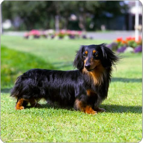 mini longhaired dachshund puppies dachshund miniature haired breeds purina
